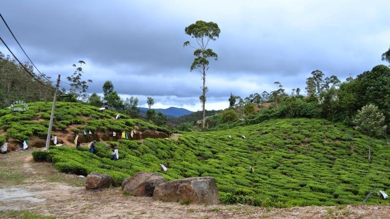 35836-20130201_srilanka511