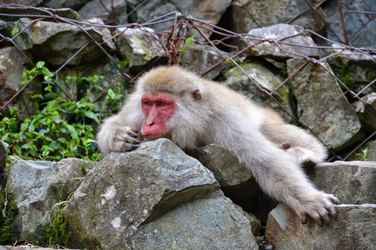 JAPONSKA: Dan z makaki opicami (12. dan)
